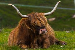 Highland cattle and Scottish Gaelic. On a medow in Scottish Highlands royalty free stock image