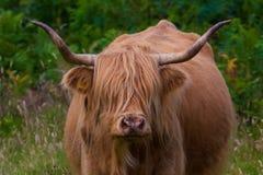 Highland cattle and Scottish Gaelic. On a medow in Scottish Highlands stock photo