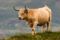 Highland cattle and Scottish Gaelic. On a medow in Scottish Highlands royalty free stock images