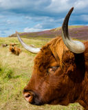 Highland cattle on scottish pasture Stock Photo