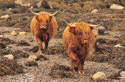 Highland cattle, shoreline, Scotland Royalty Free Stock Images
