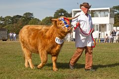 Highland cattle in show arena Royalty Free Stock Images