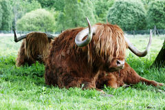 Highland Cattle Snooze Royalty Free Stock Images