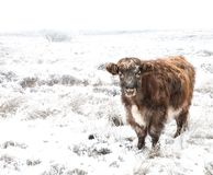 Highland cattle in a snow scene stock photography