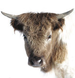 Highland cattle solo Royalty Free Stock Photos