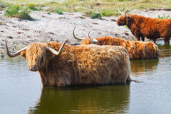 Highland cattle Royalty Free Stock Image