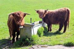 Highland Cattle Stock Image