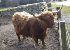 Highland cattle or Scottish cattle breed royalty free stock images