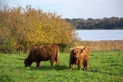 Highland Cattle at the Viking Settlement Haithabu, Germany stock photo