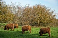 Highland Cattle at the Viking Settlement Haithabu, Germany stock images