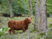 Highland cattle walking in the nature royalty free stock image