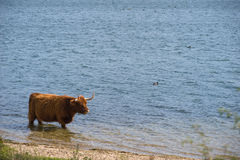 Highland cattle in the water Royalty Free Stock Image