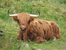 Highland cattle, western Scotland highlands Royalty Free Stock Photography