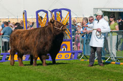 Highland cattle at Westmorland show Royalty Free Stock Photography