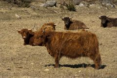 Highland cattles Royalty Free Stock Photography