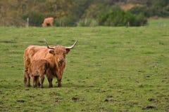 Highland cattles Stock Photo