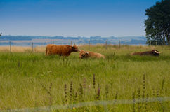 Highland cattles Royalty Free Stock Photos