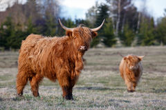 Highland cattles Royalty Free Stock Photo