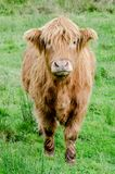 A Highland Coo royalty free stock image