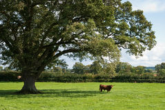 Highland Cow. In the distance under impressive English oak tree Stock Photo