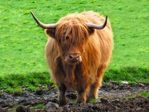Highland cow Royalty Free Stock Images