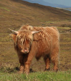 Highland Cow. Pictured on the Scottish Island of Skye Royalty Free Stock Photography