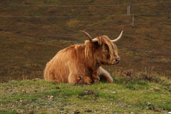 Highland Cow. Pictured on the Scottish Island of Skye Stock Photo