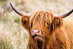 Free Highland Cow Stock Image - 11723611