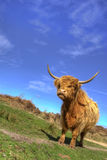 Highland cow. Long-horn highland cow at peak district Stock Images