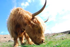 Highland cow. Long-horn highland cow at peak district Royalty Free Stock Images