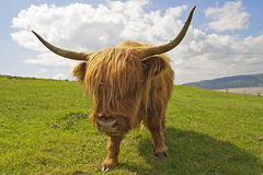 Highland Cow. Photo of a Scottish Highland cow standing in a grassy field, facing the camera with summer blue sky and white clouds beyond Royalty Free Stock Photo
