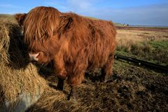 Highland Cow Stock Photo