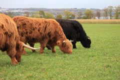 Highland cow Royalty Free Stock Image