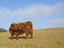 Highland cow 2 Stock Photography