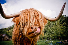 Highland Cow. Highland cattle or kyloe are an ancient Scottish breed of beef cattle with long horns and long wavy coats Stock Photo