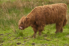 Highland Cow. Feeding on grass on marshy ground Royalty Free Stock Photos