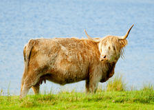 A highland cow. By the sea Royalty Free Stock Photos