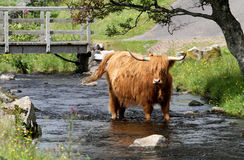 Highland cow. In the river at countryside in the Isle of Skye, Scotland Royalty Free Stock Photo