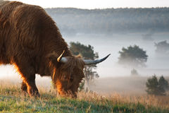 Highland cow. A higland cow with foggy background Royalty Free Stock Photography