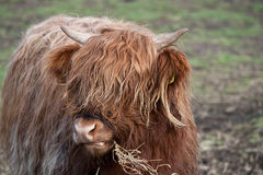 Highland Cow. With long hair Stock Images