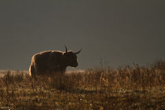 Highland cow. A higland cow with backlight Royalty Free Stock Photo