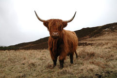 Highland Cow. Scottish highland cow in the grass in northern Scotland Royalty Free Stock Photos
