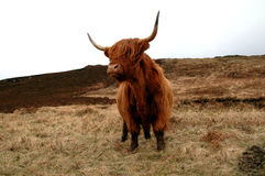 Highland Cow. Scottish highland cow in the grass in northern Scotland Royalty Free Stock Image