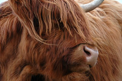 Highland Cow. Scottish highland cow in the grass in northern Scotland Stock Image