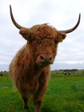 Highland Cow. A look up at the strange face of the highland cow Royalty Free Stock Photography