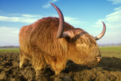 Highland cow. Close up of a highland cow showing the distinctive shaggy hair and horns royalty free stock image