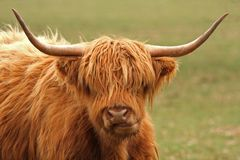 Highland Cow. Just South of Aberdeen, Scotland Royalty Free Stock Image