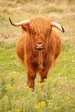 Highland cow. A red Highland cow in a natural reserve Royalty Free Stock Photography