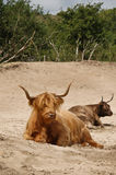 Highland cow. On a sandy beach in the netherlands Royalty Free Stock Photo