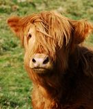 Highland Cow. Funnily posing looking at camera with wavy pelts blown by wind. Picture taken in Yorkshire Dales National Park stock images